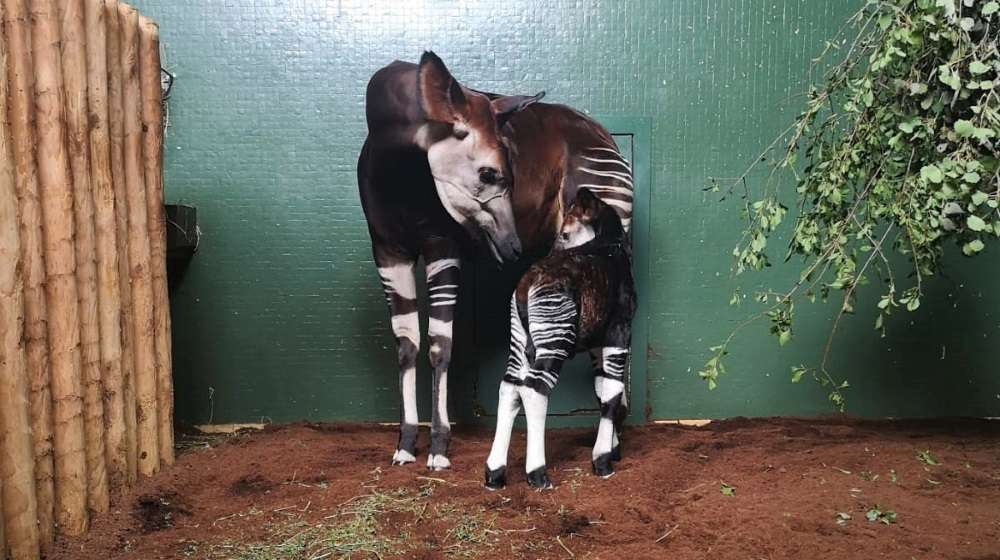 Oni the okapi with baby Ede at ZSL London Zoo