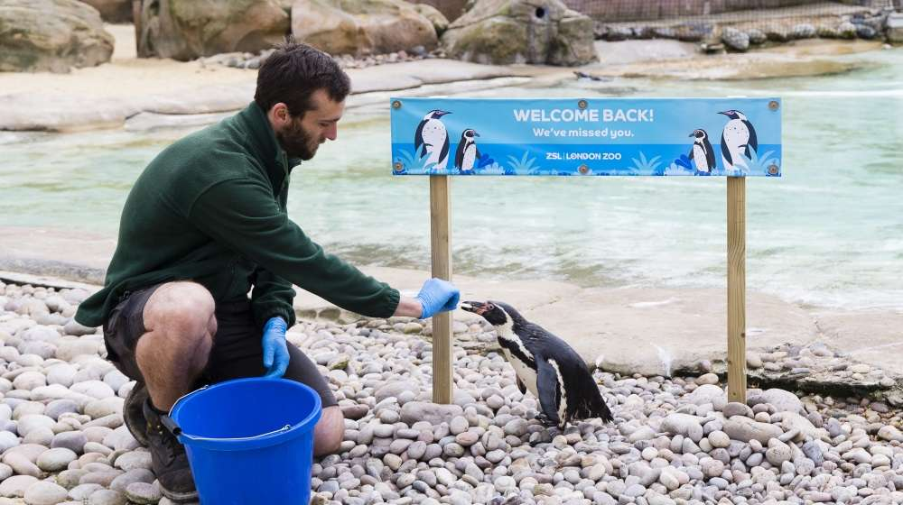 Keeper Paul Taylor-Nelson feeds the penguins before reopening at ZSL London Zoo