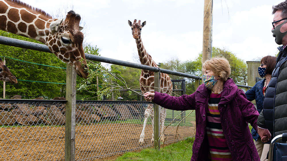 Lady in purple jacket and face mask feeding a giraffe