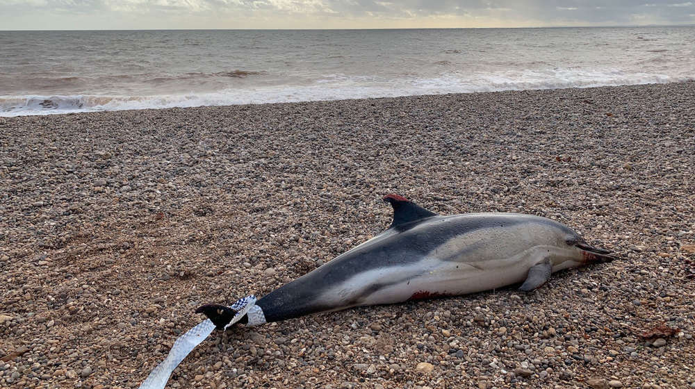 Common dolphin stranded at Branscombe beach