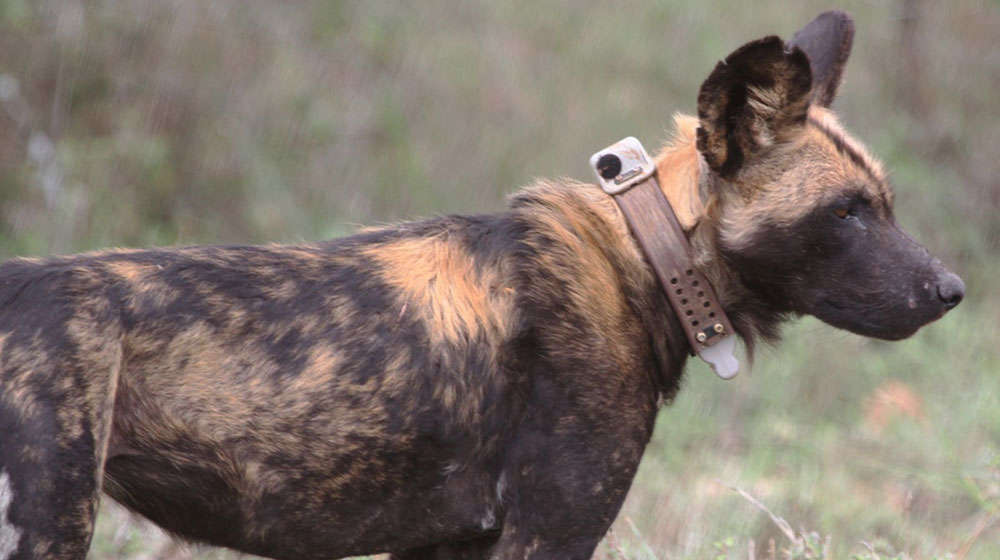African wild dog with tracking collar