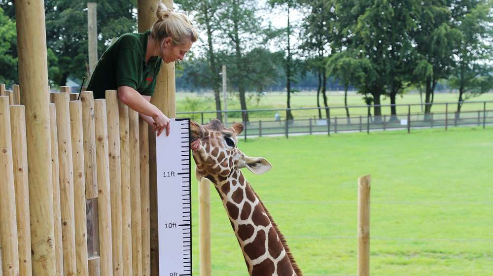 Giraffes being measured at ZSL Whipsnade Zoo