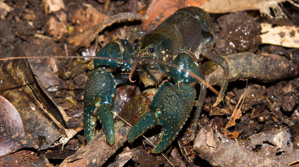 Euastacus bindal. A very threatened species of crayfish. Photo: Diana-Angelique Virkki