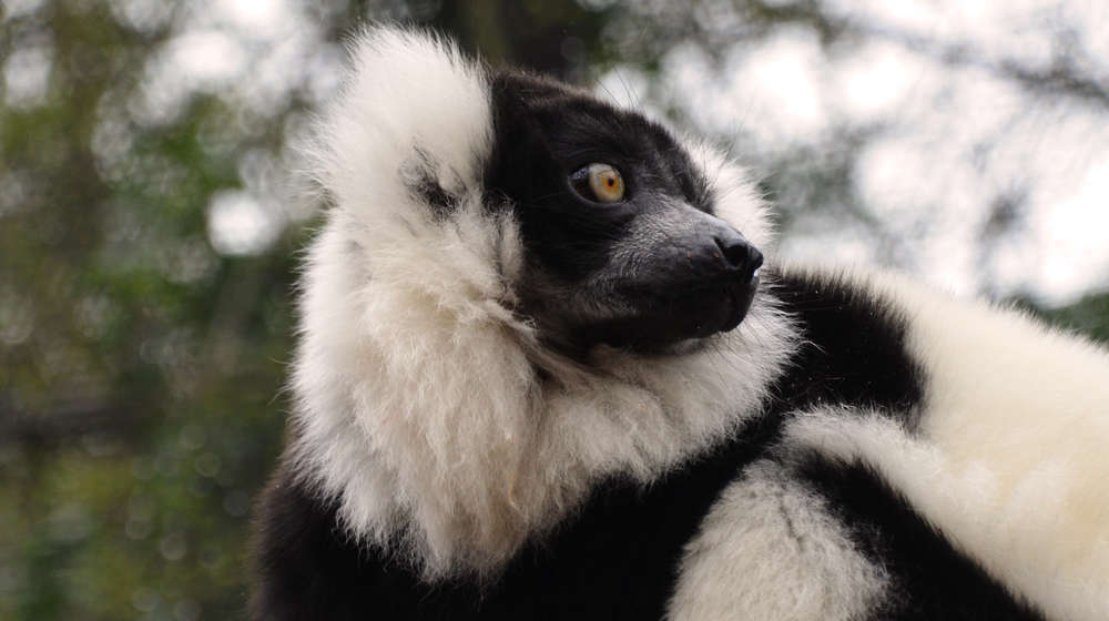 Storm - In with the Lemurs 2015