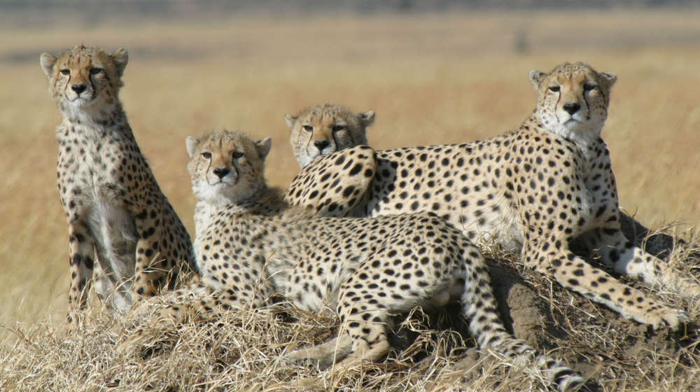 Family of cheetah in Tanzania