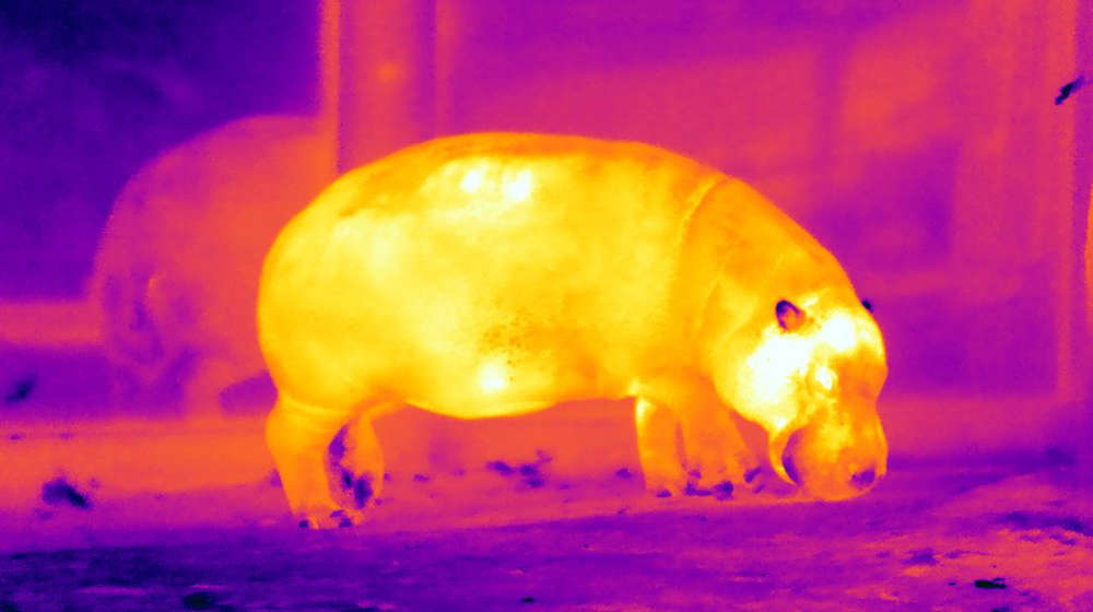 Hippo on infrared camera