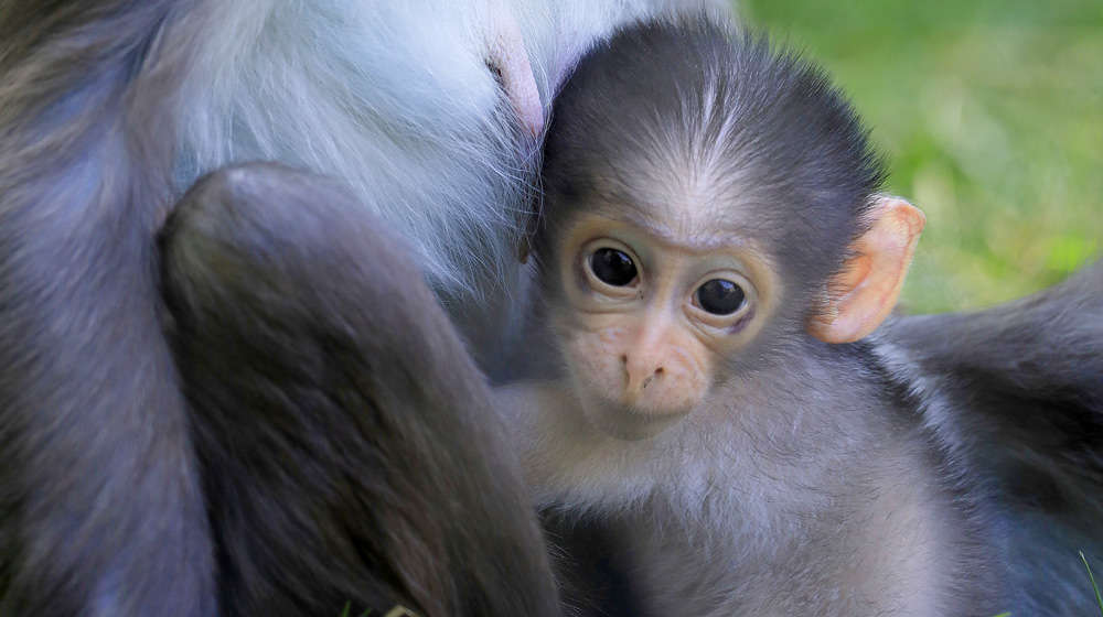 Baby Buzz the mangabey at ZSL London Zoo