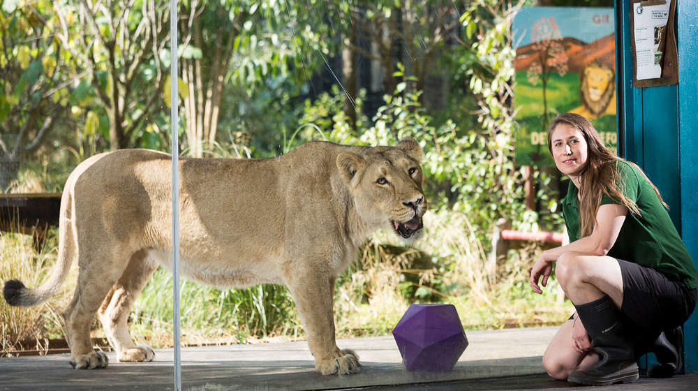 female zookeeper crouches next to a lioness