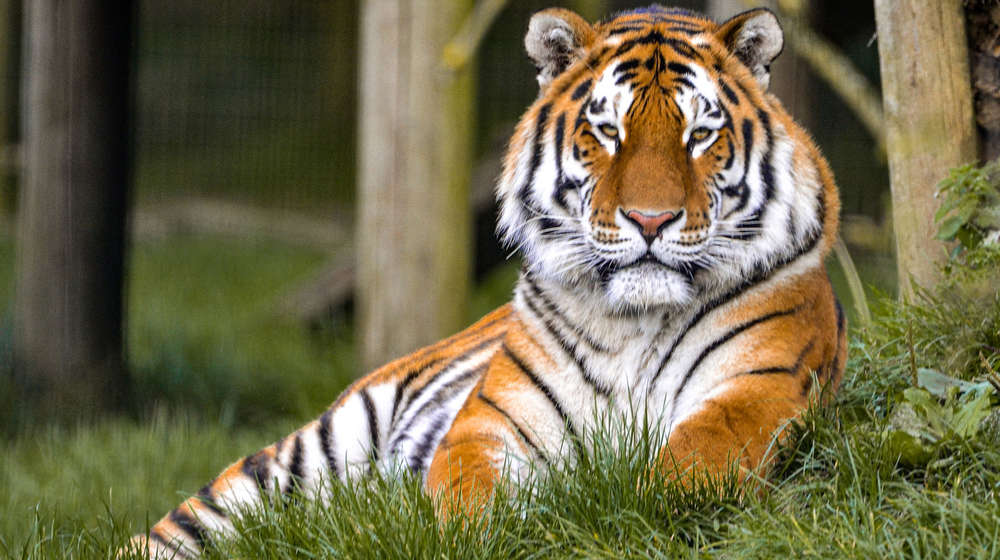 tiger sat on grass
