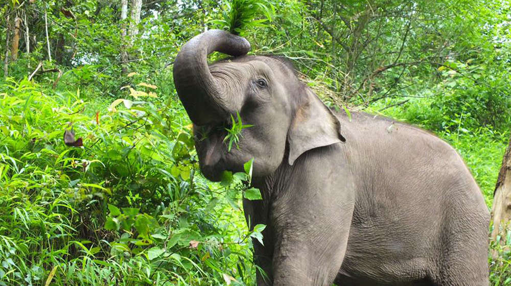 elephant with greenery in the background