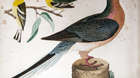 American ornithology or, the natural history of the United States, by Alexander Wilson.  Volume V. Philadelphia : Bradford and Inskeep, 1812. Passenger pigeon, Blue mountain warbler and hemlock.