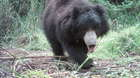 A Sloth Bear is photographed by a camera trap in Nepal