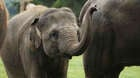 Asian elephants are dark brown or grey in colour have small amounts of hair on their head and back