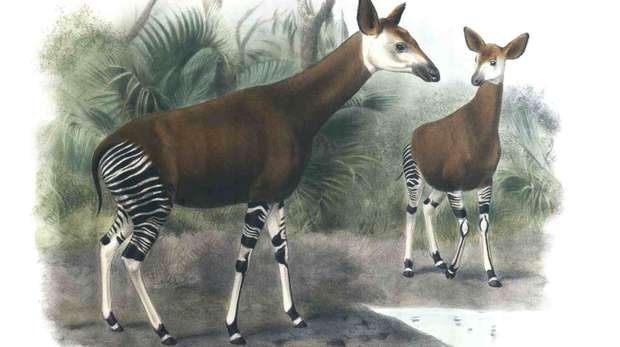 Okapi in Proceedings of the Zoological Society of London, 1902.