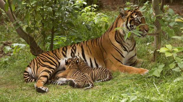 Sumatran tiger Melati and her cubs