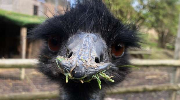 Mr Darcy the emu at ZSL London Zoo