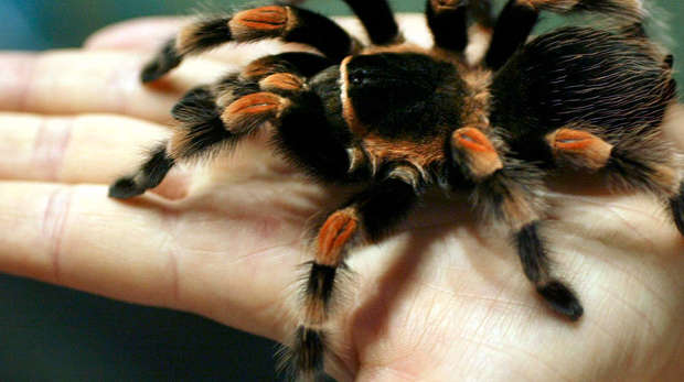 Red Kneed Tarantula square image