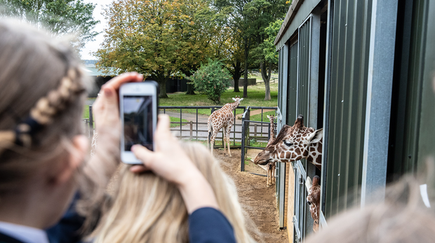 Students take photos of the giraffes at ZSL Whipsnade Zoo