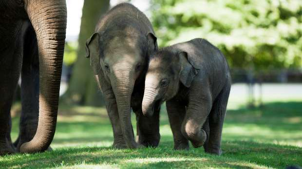 Baby Asian elephants at ZSL Whipsnade Zoo