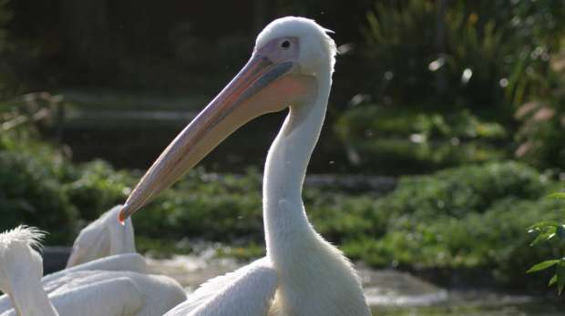 A African white pelican at ZSL London Zoo