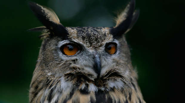 Close-up of Max the Eagle-Owl at ZSL London Zoo