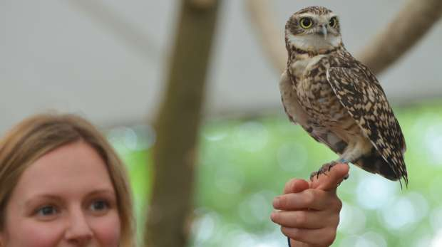 Bob the Burrowing Owl at ZSL London Zoo