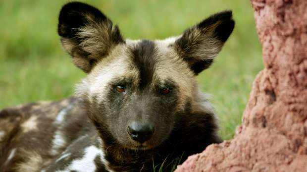 A close-up of a African Hunting Dog at ZSL London Zoo.