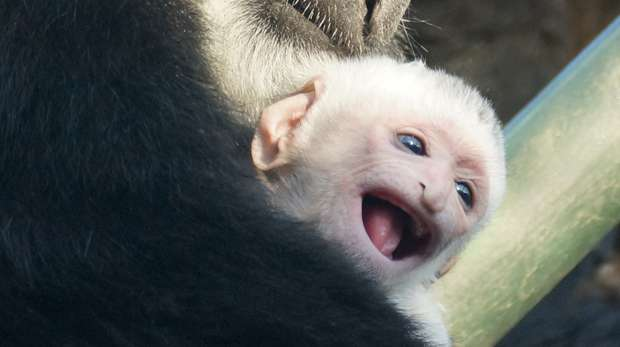 Baby colobus monkey 2013 at ZSL London Zoo