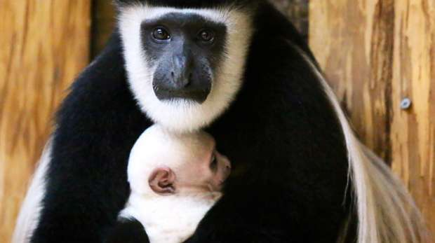 Colobus Monkey baby at ZSL London Zoo