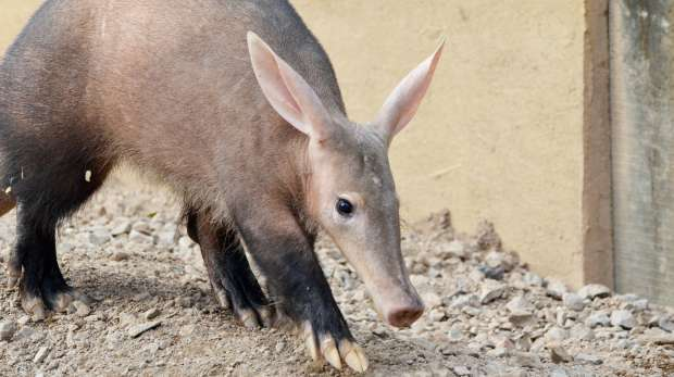An aardvark at ZSL London Zoo