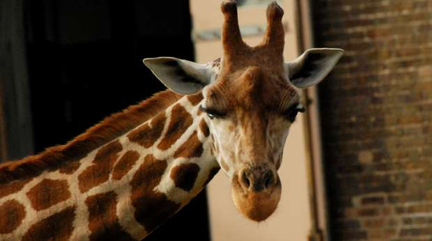A close-up of a giraffe at ZSL London Zoo