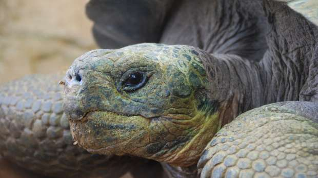 A close-up of a Galapagos tortoise at ZSL London Zoo