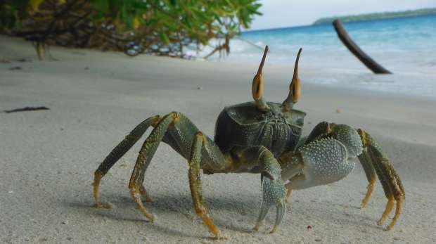 Ghost crab on Chagos beach