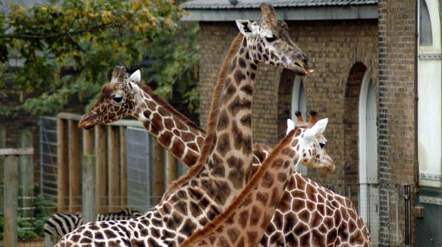 A group of giraffe at ZSL London Zoo