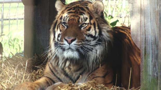 Jae Jae the Sumatran tiger at ZSL London Zoo