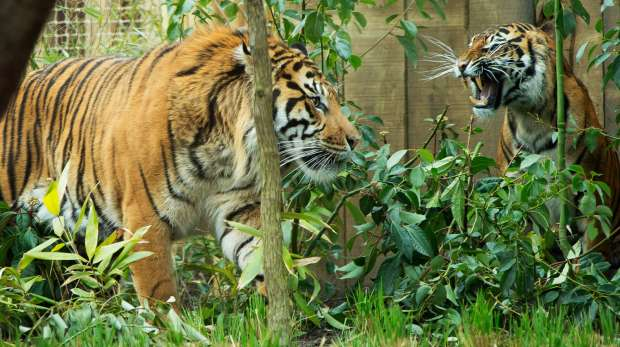 Jae Jae and Melati together at ZSL London Zoo.