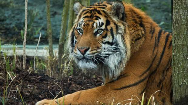 Jae Jae, a Sumatran Tiger, at ZSL London Zoo.