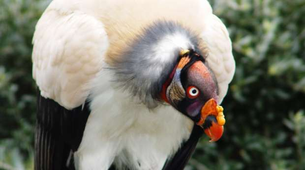 A king vulture at ZSL London Zoo.