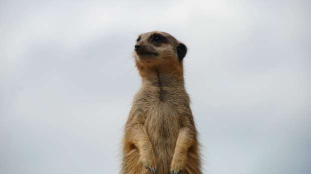 A meerkat on the look-out at ZSL London Zoo
