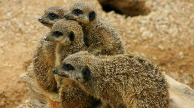 A meerkat family at ZSL London Zoo