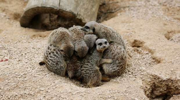 A group of meerkats at ZSL London Zoo