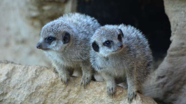 Baby meerkats at ZSL London Zoo
