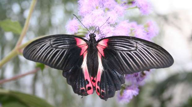 Papilio rumanzovia butterfly at the Butterfly Paradise exhibit at ZSL London Zoo.