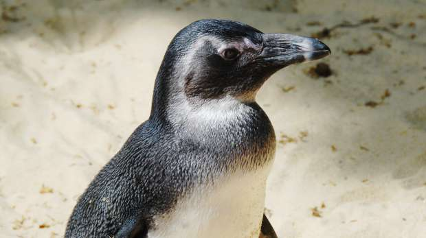 A humboldt penguin at ZSL London Zoo