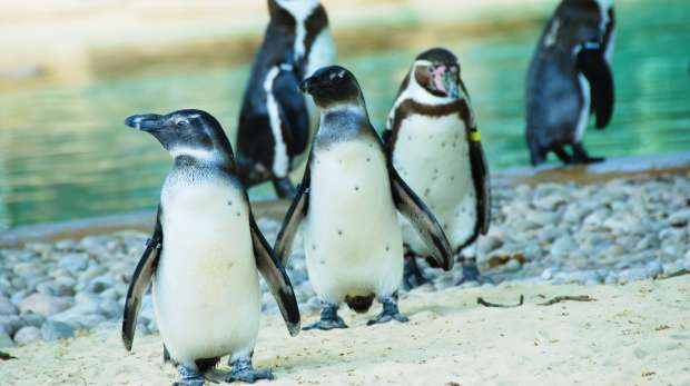 A group of penguins at ZSL London Zoo