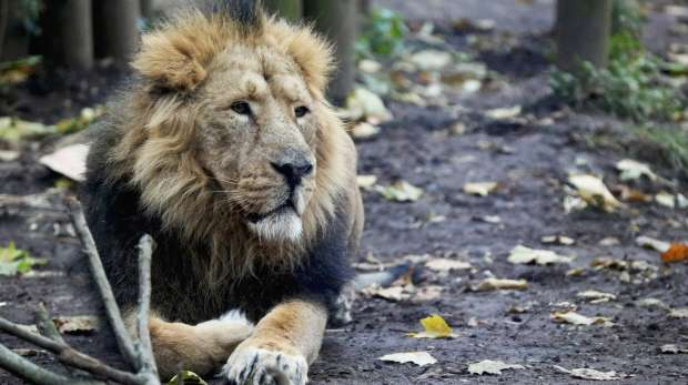 Lucifer the lion at ZSL London Zoo.