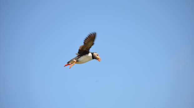 Skellig Michael flying Puffin