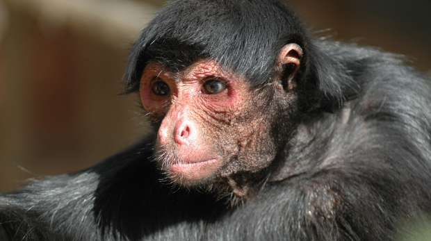 A spider monkey at ZSL London Zoo