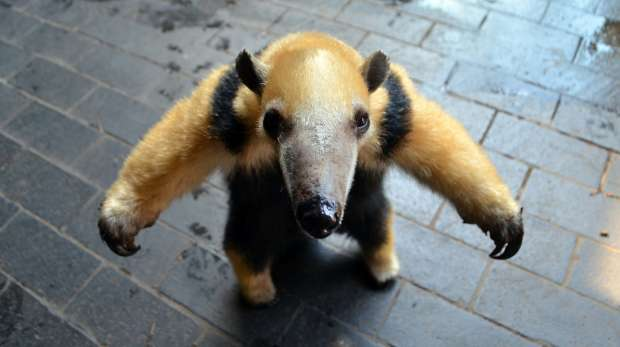 Tammy the Tamandua at ZSL London Zoo.