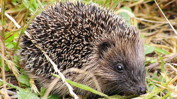 Young healthy hedgehog - Garden Wildlife Health